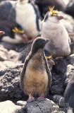 Royal Penguin s0390.jpg