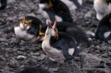 Royal Penguin s0393.jpg