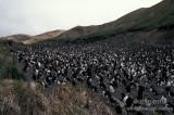 Royal Penguin s0394.jpg