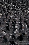 Royal Penguin s0395.jpg
