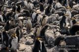 Royal Penguin s0396.jpg