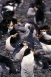 Royal Penguin s0398.jpg