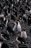 Royal Penguin s0400.jpg