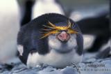 Royal Penguin s0401.jpg