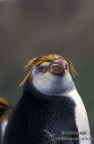 Royal Penguin s0402.jpg