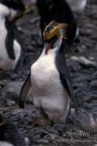 Royal Penguin s0403.jpg