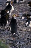 Royal Penguin s0404.jpg
