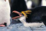 Royal Penguin s0406.jpg