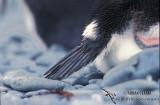 Royal Penguin s0407.jpg