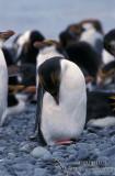 Royal Penguin s0408.jpg