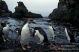 Royal Penguin s0410.jpg