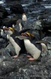 Royal Penguin s0411.jpg