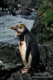 Royal Penguin s0412.jpg