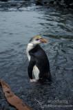 Royal Penguin s0413.jpg