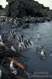 Royal Penguin s0415.jpg