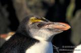 Royal Penguin s0418.jpg