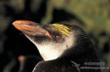 Royal Penguin s0419.jpg