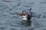 Royal Penguin s0420.jpg