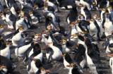 Royal Penguin s0422.jpg
