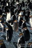 Royal Penguin s0423.jpg