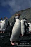 Royal Penguin s0424.jpg