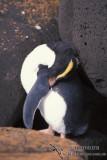 Fiordland Penguin s0338.jpg