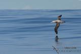 Wandering Albatross 6244