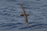 Northern Giant-Petrel 2286.jpg