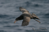 Northern Giant-Petrel 6955.jpg