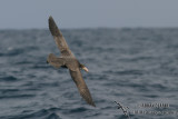 Northern Giant-Petrel 6958.jpg