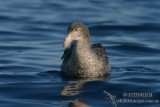 Northern Giant-Petrel 7661.jpg