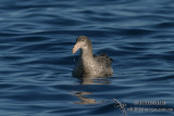 Northern Giant-Petrel 7663.jpg