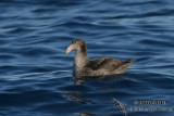 Northern Giant-Petrel 7666.jpg