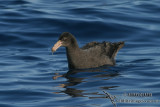Northern Giant-Petrel 7668.jpg