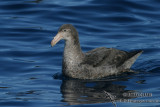 Northern Giant-Petrel 7676.jpg