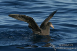Northern Giant-Petrel 7686.jpg
