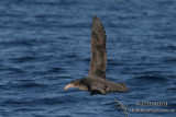 Northern Giant-Petrel 7697.jpg
