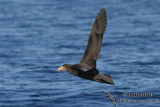 Northern Giant-Petrel 7735.jpg