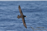 Northern Giant-Petrel 7740.jpg