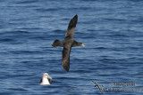 Northern Giant-Petrel 7741.jpg