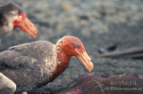 Northern Giant-Petrel s0433.jpg