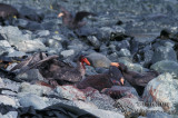 Northern Giant-Petrel s0442.jpg