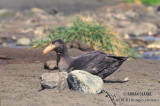 Northern Giant-Petrel s0444.jpg