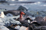 Northern Giant-Petrel s0449.jpg