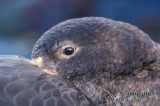 Northern Giant-Petrel s0452.jpg