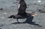 Northern Giant-Petrel s0454.jpg