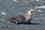 Northern Giant-Petrel s0463.jpg