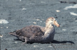 Northern Giant-Petrel s0464.jpg