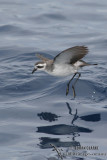 White-faced Storm-Petrel 4191