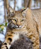Friendly Bobcat Encounters